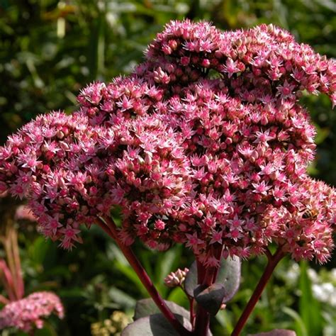 sedum spectabile matrona  santa rosa gardens stonecrop