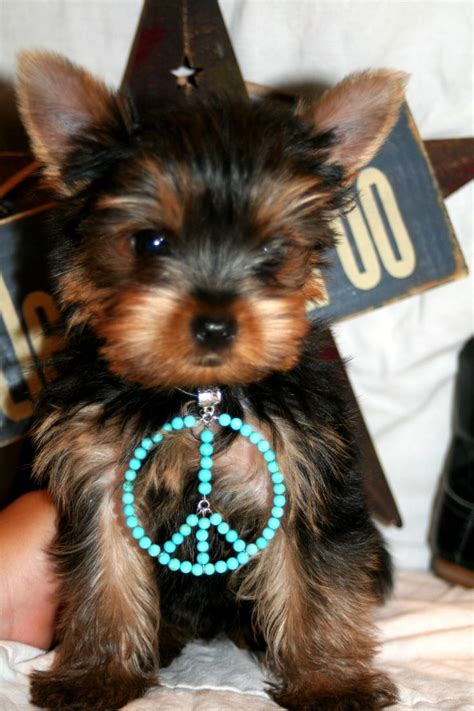teacup yorkies for sale in tx pin by carrie on yorkies