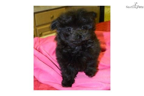 pomapoo puppies for sale near me poma poo pomapoo puppy for sale near las vegas nevada 80109dd7 44e1