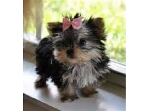 free yorkie puppies in alabama teacup size yorkie puppies for re homing animals alabama announcement