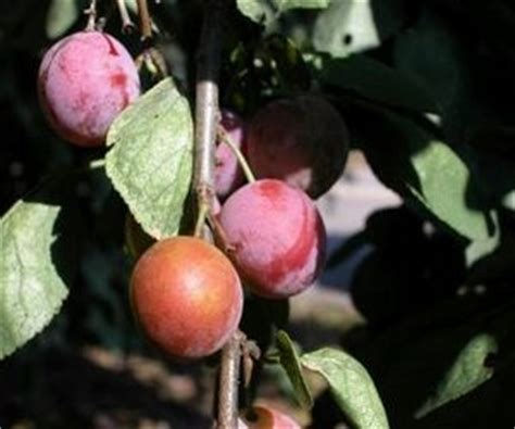 minnesota fruit trees fruit trees that grow well in minnesota