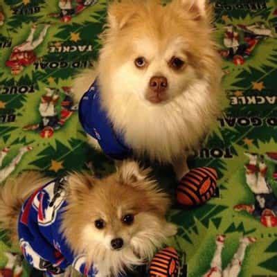pomeranian therapy pomeranian therapy dogs
