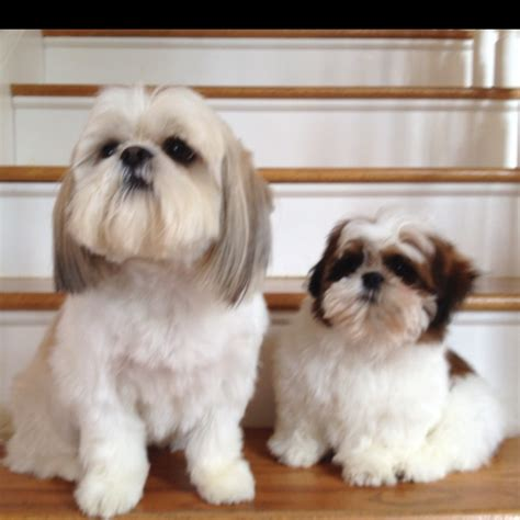 Shih Tzu Do They Shed by 17 Best Images About Shih Tzu Lhasa Apso On