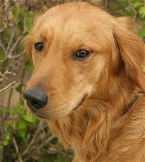 pictures of golden retrievers goldens retrievers different types of golden retrievers