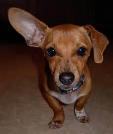 chiweenie dogs brown chiweenie puppies image search results breeds picture