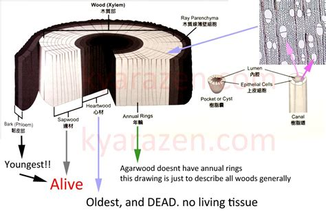 Section Of Tree by Age Of Agarwood And The Tree Kyarazen