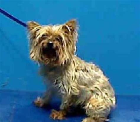6 year yorkie cassidy yorkie is an adoptable terrier yorkie in new york ny 6 year