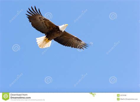 Flying Eagle Fast Blade Black Blue bald eagle flying stock image image of eagle bald