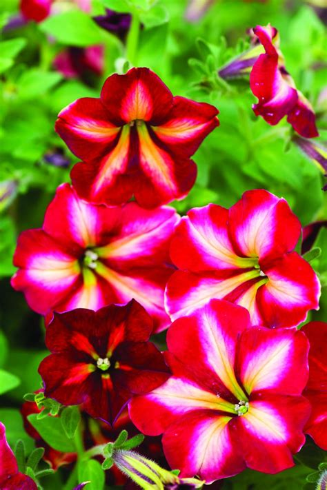 top red annual flowers for your garden hgtv