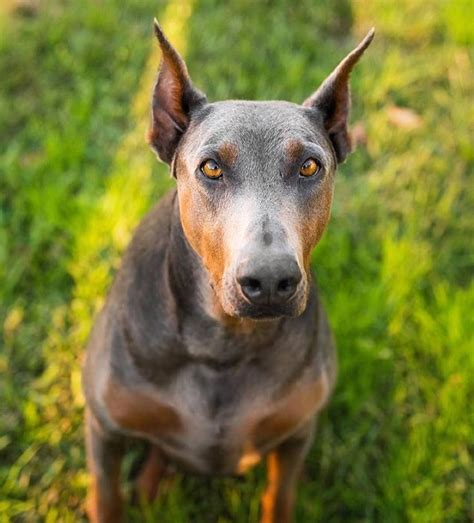 doberman colors doberman pinscher blue color www imgkid the image