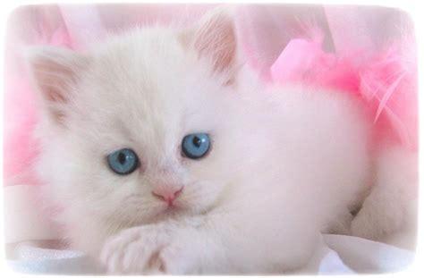 white persian cat kittenpet  gallery cats pet  galleryxjkbavdpk
