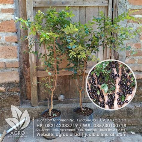 Anggur Pohon 40 Cm jual bibit anggur pohon brazil jaboticaba 70 cm agro bibit id
