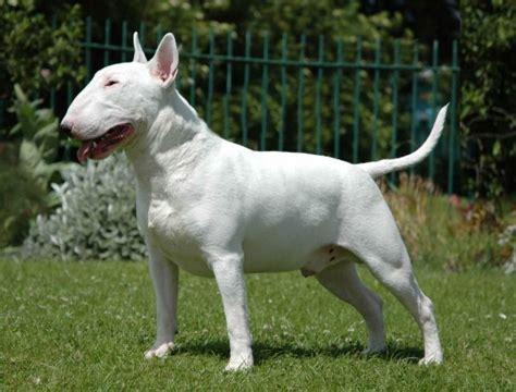 alimentazione pitbull bull terrier standard cucciolo tutto breeds picture
