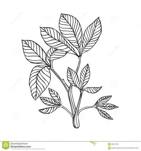 desenho de plantas planta de trifoli desenho linear ilustra 231 227 o do vetor