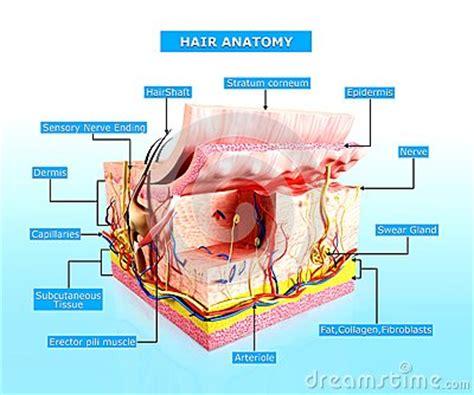 stock images similar to id 65616337 human skin macro texture front view of human skin cutway diagram stock photo image 36218140
