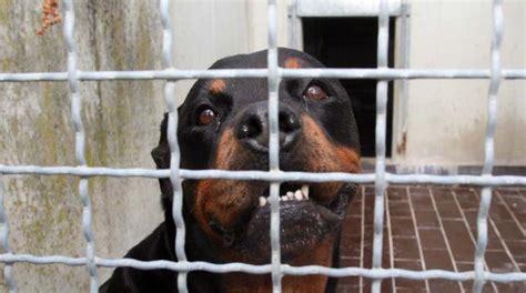rottweiler in appartamento due rottweiler attaccano la colf entrata in casa uno