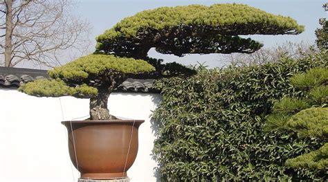 japanische designer möbel m 228 dchenkiefer bonsai pflege