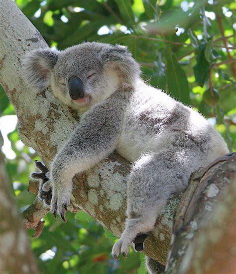 imagenes bellas de koalas 10 curiosidades del koala planeta curioso