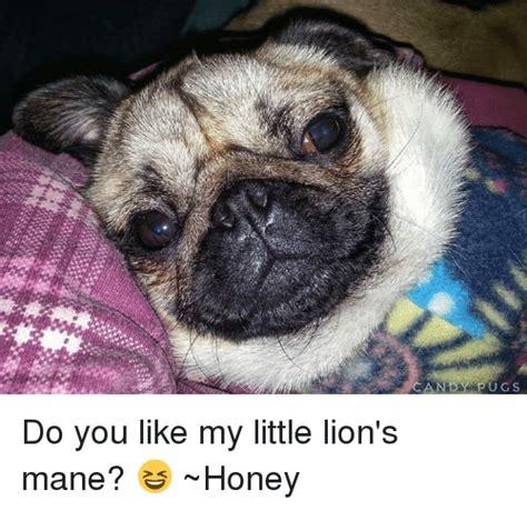 pugs fighting lions 25 best memes about s mane s mane memes