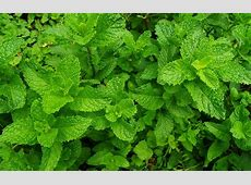 Natural Mosquito Repellent Ideas for Your Outdoor Space Mint Leaves Wallpaper