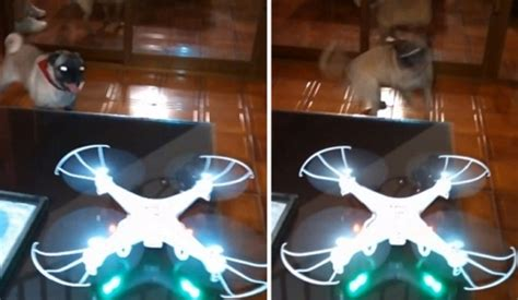pug drone playful pug imitates a drone with a whirling
