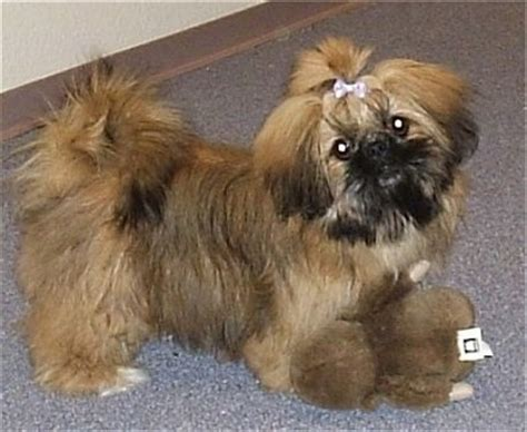 pekingese shih tzu mix puppies shinese breed information and pictures