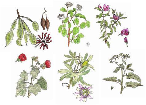 imagenes de flores medicinales dibujos de plantas ps pinterest dibujo de planta