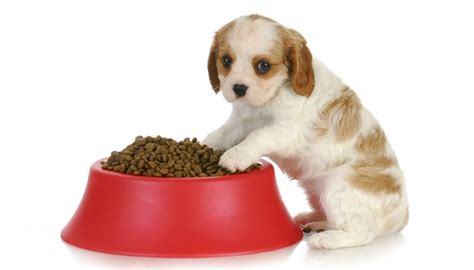 how do you feed puppies puppy food best food for cavalier king charles spaniels 8 vet recommended brands
