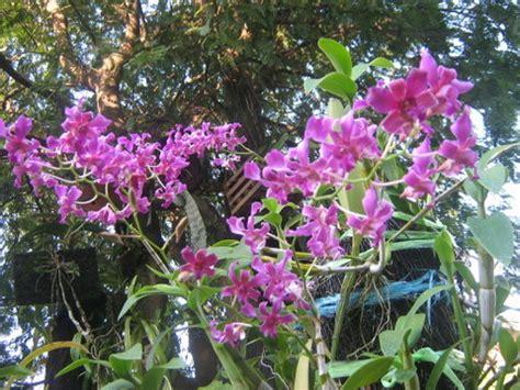 Tanaman Hias Anggrek Dendrobium Calophyllum Limited cara merawat anggrek dendrobium