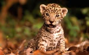 Scientific Name Jaguar The Animal Kingdom 6th Year Mountain Jaguar