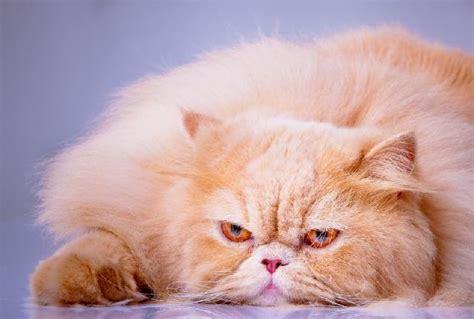cat freaking out maybe in heat tomografia computadorizada em c 227 es e gatos 233 realidade na veterin 225 ria cachorrogato