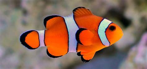 la chachipedia el pez payaso apexwallpaperscom pez payaso informaci 243 n qu 233 come d 243 nde vive c 243 mo nace