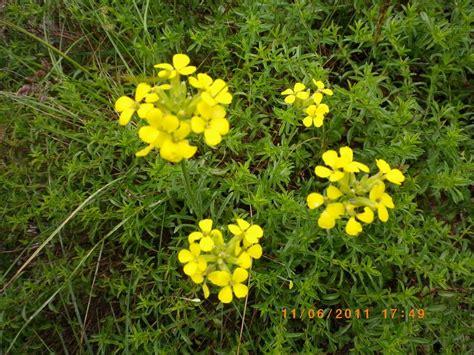 fiori gialli selvatici un fiore giallo erysimum sp forum natura mediterraneo