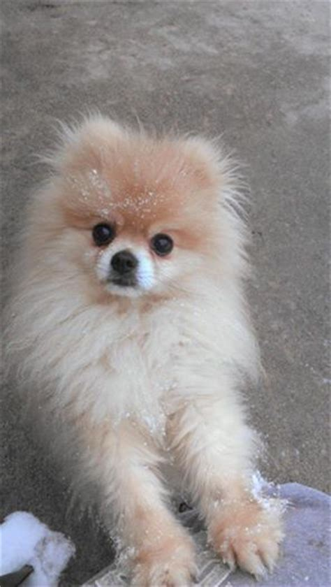 pomeranian eye problems pets puppys and baby cubs on