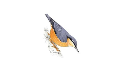 nuthatch bird facts sitta europaea the rspb