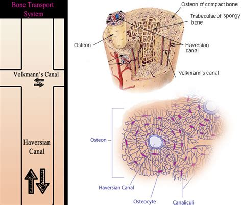 osseous tissue diagram bone cells structure www pixshark images galleries