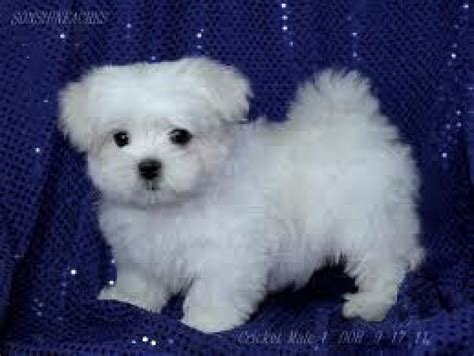 maltese puppies for adoption contact bibiche cutest maltese puppies for adoption pictures of dogs litle pups