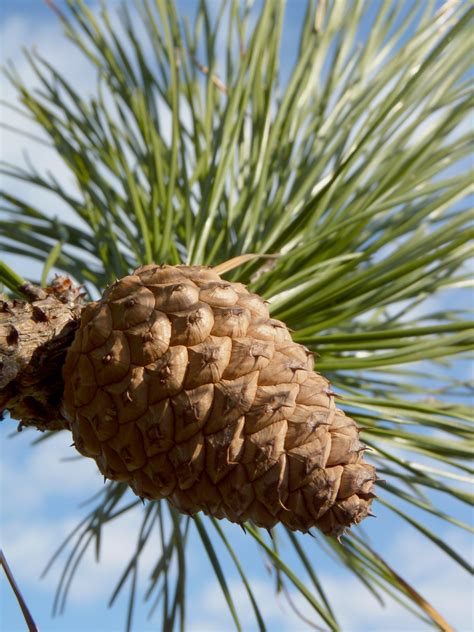 pine cone trees pine trees quotes like success