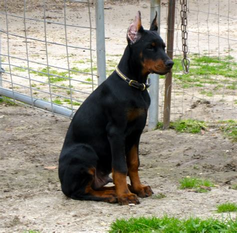 free doberman puppies britton farms european doberman puppies litters page