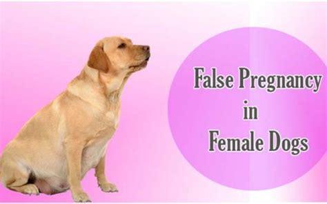 false pregnancy in dogs diarrhea causes symptoms treatments