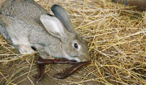 gabbie allevamento conigli pulizia delle gabbie dei conigli consigli utili vita in