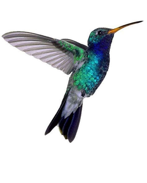 hummingbird tattoo design tattoos of humming bird humming bird pictures