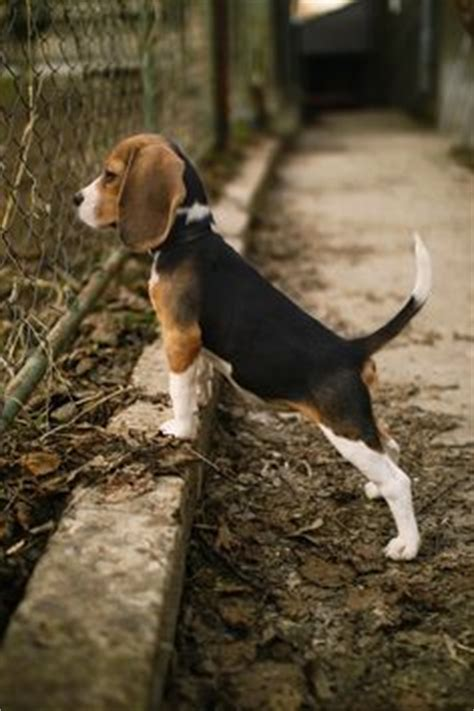 are beagles good house dogs 1000 ideas about beagles on pinterest beagle puppies dogs and puppies