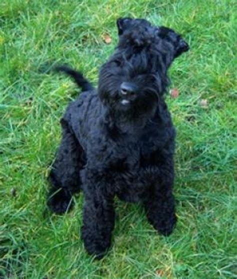 kerry blue terrier puppies for sale pedigree kc registered kerry blue terrier puppies in s o t staffordshire born 06 02 10