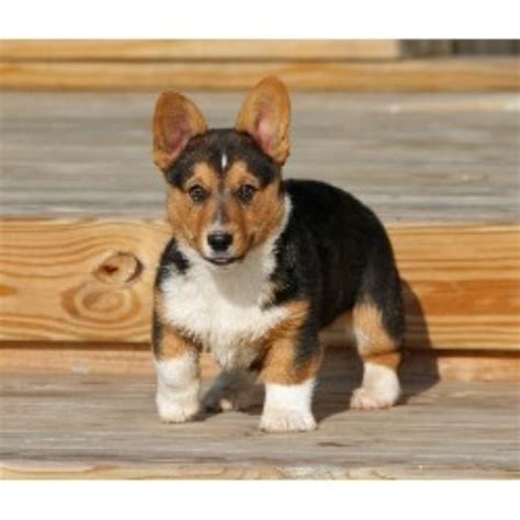 corgi puppies for sale oklahoma forrest hill farm pembroke corgi breeder in lafayette indiana
