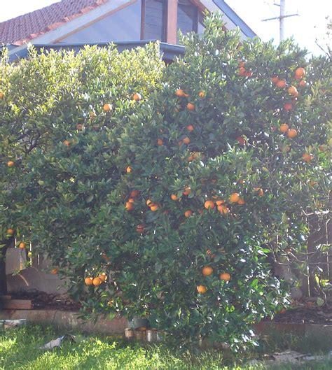 orange washington navel tree citrus sinensis