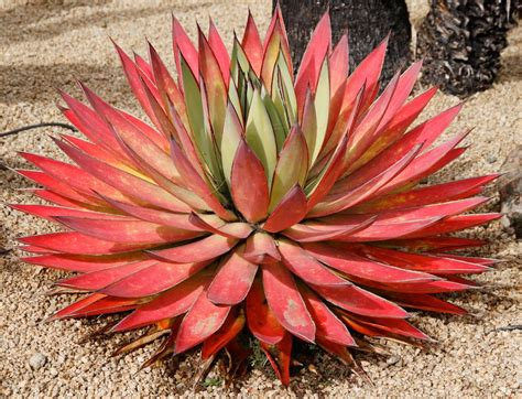 agave blue glow succulents and cacti pinterest