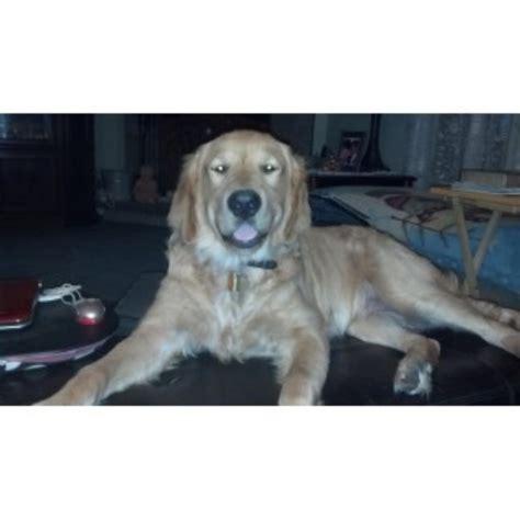 golden retriever puppies gainesville fl syk sutherland golden retriever stud in hawthorne florida