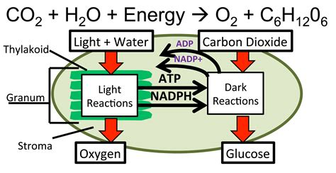 What Are The Products Of Light Reactions photosynthesis mrkubuske