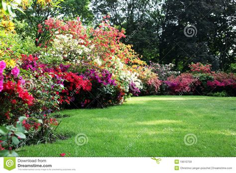 patio rhododendron beautiful blooming rhododendron in the garden stock image